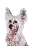 Chinese crested dog portrait isolated on white. Background at studio. Bald spotted chest royalty free stock photo