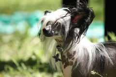Chinese Crested Dog portrait Stock Images