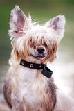 Chinese crested dog. Portrait in park royalty free stock photos
