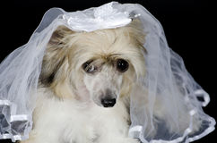 Chinese Crested dog. Portrait of a sad Chinese Crested dog (Powderpuff variety) wearing a bridal veil,  on black Royalty Free Stock Photography