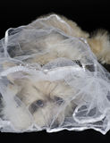 Chinese Crested dog. Portrait of a sad Chinese Crested dog (Powderpuff variety) wearing a bridal veil, isolated on black Royalty Free Stock Photos
