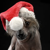 Chinese Crested Dog portrait in a Santa Claus hat. Chinese Crested Dog portrait in  Santa Claus hat Stock Photo