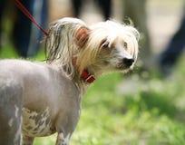 Chinese Crested Dog portrait Stock Photo