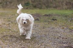 Chinese crested dog powder puff is running alone in winter. Chinese crested dog powder puff runs alone in winter over a path stock photography