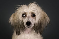 Chinese Crested Dog - Powderpuff. Stock Photos