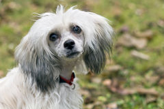 Chinese Crested Dog - Powderpuff. In front of garden royalty free stock images