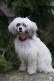 Chinese Crested Dog - Powderpuff. In front of garden stock image