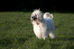 Chinese Crested Dog - Powderpuff Stock Image