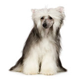 Chinese Crested Dog - Powderpuff Stock Images