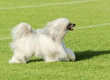 Chinese Crested dog (Powderpuff) Royalty Free Stock Photo