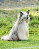 Chinese Crested dog (Powderpuff) royalty free stock photography
