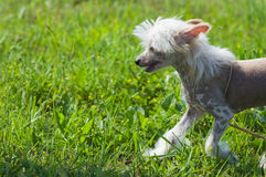 Chinese crested dog puppy. Walking royalty free stock image