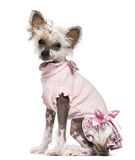 Chinese Crested Dog puppy, 4 months old, sitting Stock Images