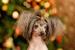 Chinese crested dog puppy in front view Stock Photos