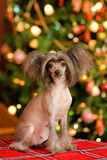 Chinese crested dog puppy looking at camera Stock Photo