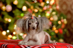 Chinese crested dog puppy lying.  stock images