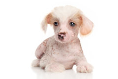 Chinese Crested dog puppy. Chinese Crested puppy lying down on white background royalty free stock image