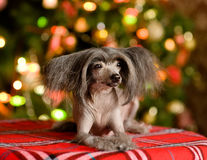Chinese crested dog puppy lying in front Royalty Free Stock Photos