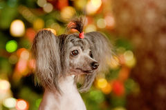 Chinese crested dog puppy in profile Royalty Free Stock Images