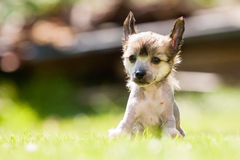 Chinese crested dog. Puppy of Chinese crested dog sitting stock photos