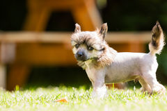Chinese crested dog Royalty Free Stock Images