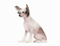 Chinese crested dog puppy on white Stock Photography