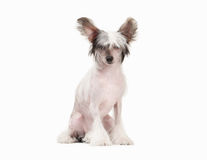 Chinese crested dog puppy on white Stock Photos