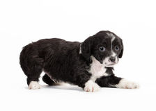 Chinese crested dog puppy Stock Photos