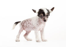 Chinese crested dog puppy Stock Image