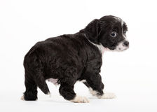 Chinese crested dog puppy Royalty Free Stock Image