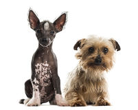 Chinese crested dog puppy and yorkshire terrier sitting. In front of a white background royalty free stock photo
