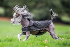 Chinese Crested Dog running in a park with hair blowing around stock images