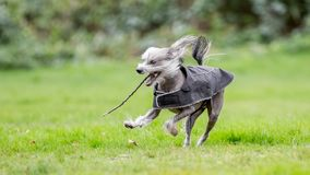 Chinese Crested Dog running with a stick in a coat royalty free stock photos