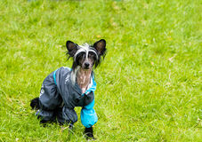 Chinese crested dog runs. Royalty Free Stock Images