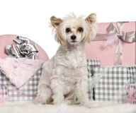 Chinese Crested Dog sitting with Christmas gifts Royalty Free Stock Image