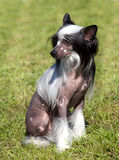 Chinese Crested Dog sitting on green grass. Outdoor looking to the left stock photos