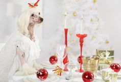 Chinese Crested dog sitting at the holiday table. Hairless Chinese Crested dog sitting at the holiday table on the background of Christmas tree stock photo