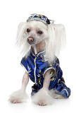 Chinese Crested dog sitting on a white background Royalty Free Stock Photo