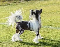 Chinese Crested dog. A small black and white hairless Chinese Crested dog standing on the lawn looking very elegant. The hairless breed is known for having only stock photography