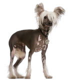 Chinese Crested Dog, standing Stock Image