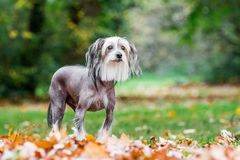 Chinese Crested Dog standing in autumn fall leaves in the countryside looking past camera. A mostly hairless dog in a park, countryside meadow or field of royalty free stock images