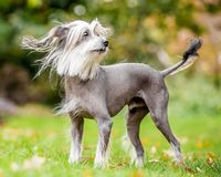 Chinese Crested Dog standing in the countryside looking across the side with hair blowing in the wind and tail up royalty free stock image