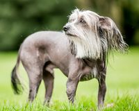 Chinese Crested Dog standing in the countryside looking up with hair blowing in the wind and tail down royalty free stock images