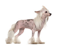 Chinese crested dog standing Royalty Free Stock Photos