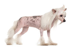 Chinese crested dog standing Stock Photo