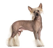 Chinese crested dog standing Stock Photos