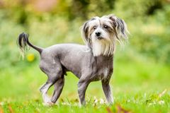 Chinese Crested Dog standing a meadow looking to the camera stock photos