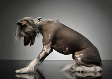 Chinese crested dog standing up in a gray background Royalty Free Stock Photography