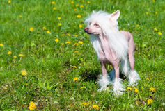 Chinese crested dog stands. Stock Photography