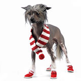 Chinese Crested Dog staying on the studio wearing  a shoes. Chinese Crested Dog staying on the studio wearing shoes Stock Image